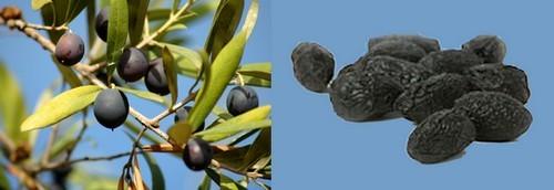 conserva di olive nere al forno,olive nere a conseva,olive nere,olive nere secche,